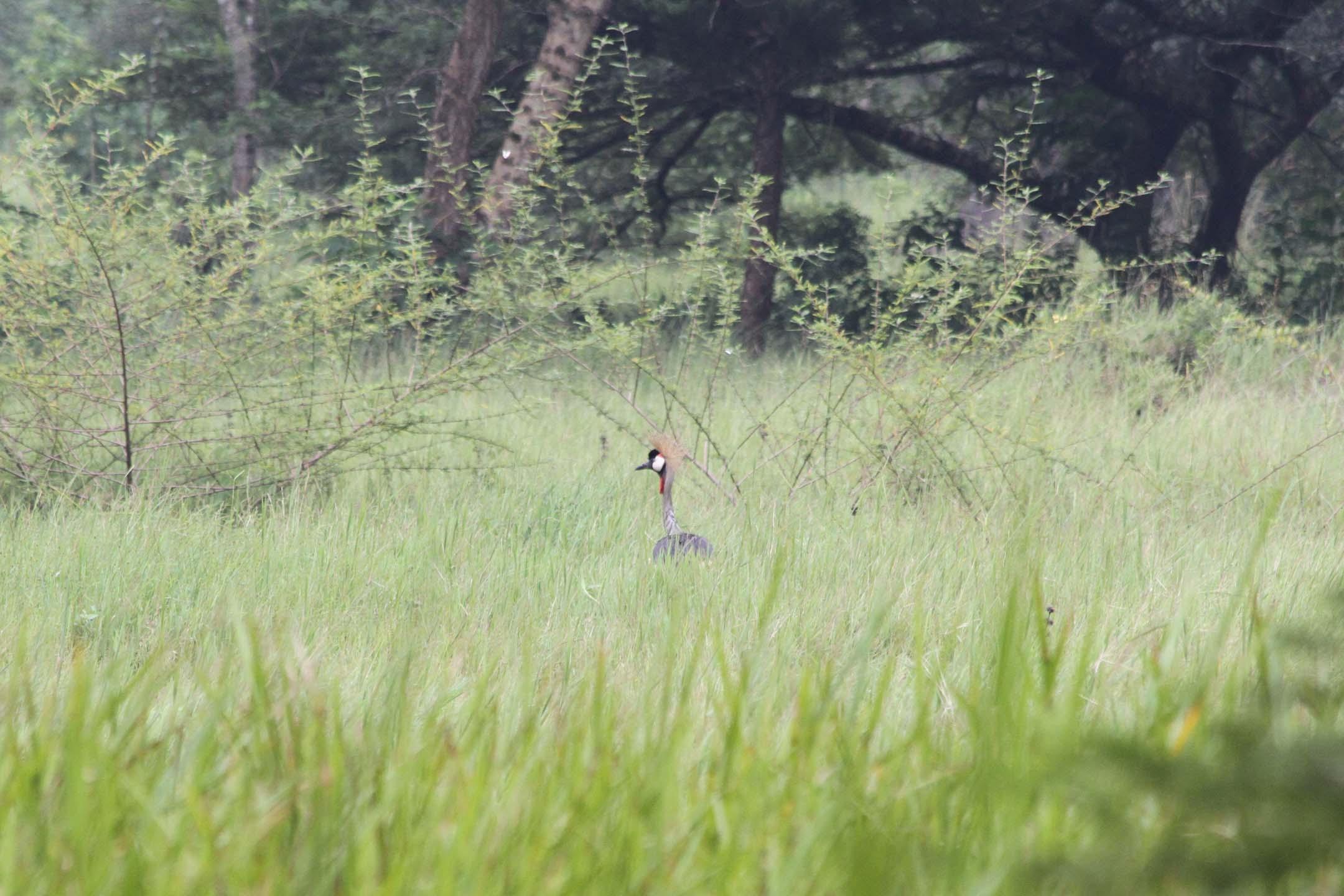 Grey Crowned Crane at Umusambi Village, Kigali, Rwanda