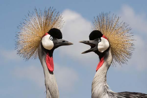 Grey Crowned Cranes Umusambi