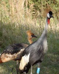 Grey Crowned Cranes with young at Umusambi Village