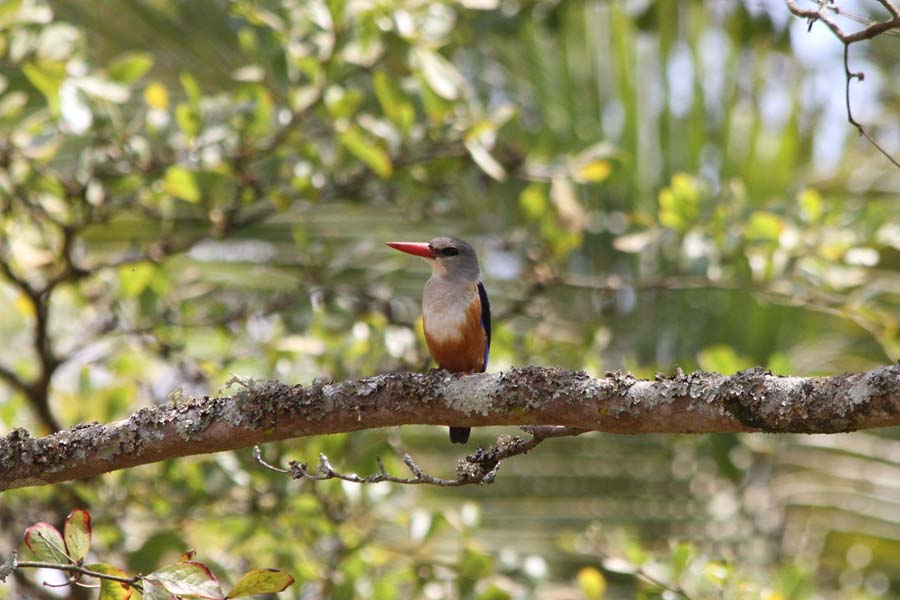 Umusambi Kingfisher