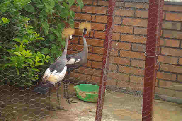 Cranes in Captivity