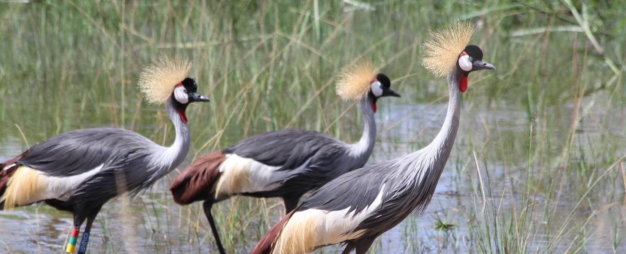 Grey Crowned Cranes at Umusambi Village
