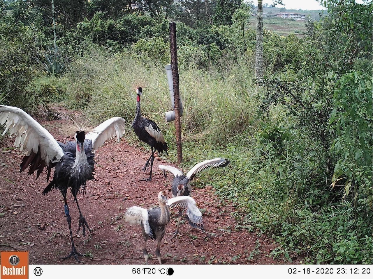 Crane Chicks Growing