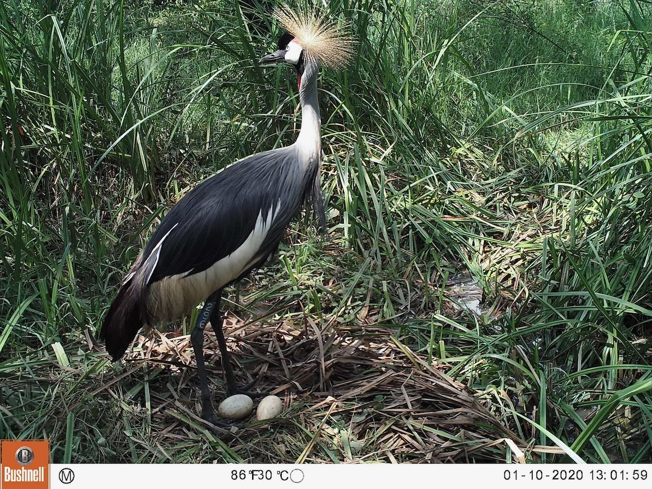 Grey Crowned Crane with Eggs