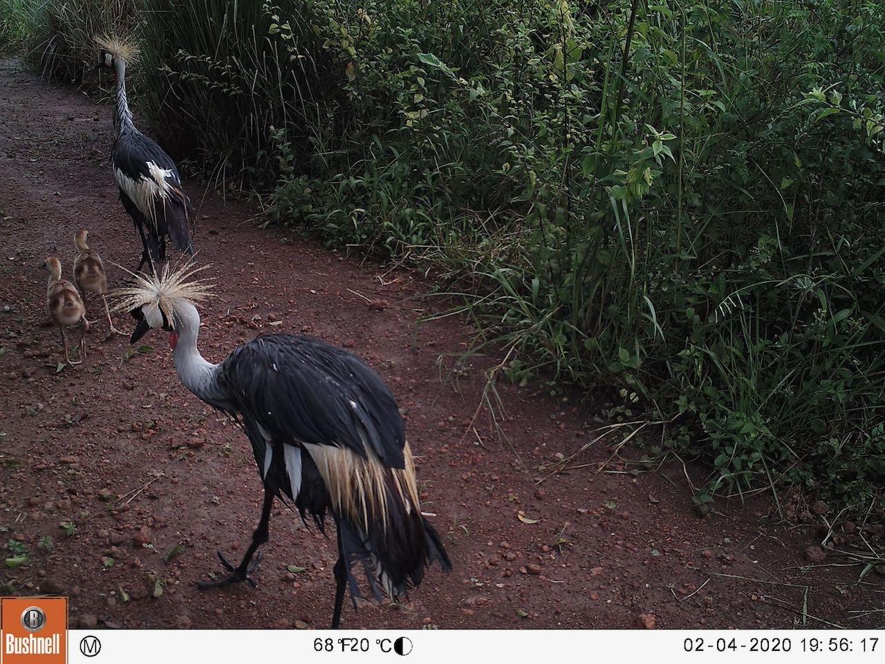 Crane Chicks
